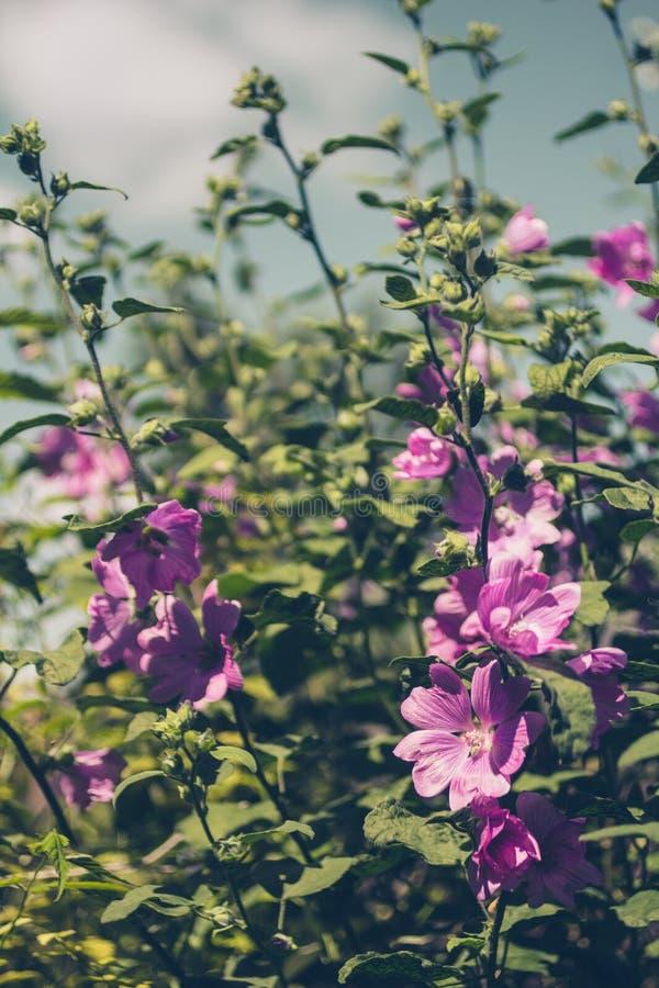 Розовый Hollyhock blossoming в дневном свете, красивый сад цветет стоковые фото