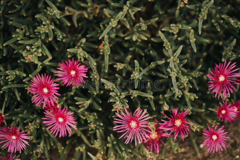 Розовый iceplant цветок или выносливые цветки завода льда яркие фиолетовые на flowerbed стоковое изображение