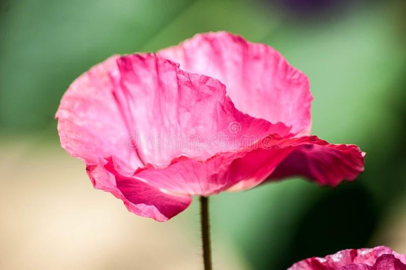 Розовый poopy цветок стоковое изображение rf