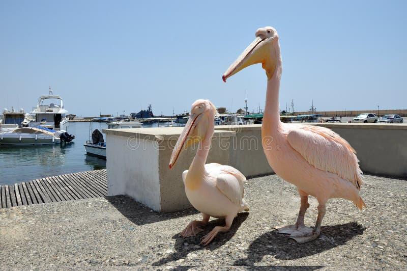 2 розовых пеликана гуляя в гавани Paphos стоковые фотографии rf