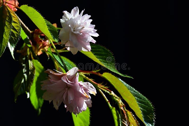 2 розовых цветка весны сливы Serrulata дерева вишневого цвета Сакуры на темной предпосылке стоковая фотография rf