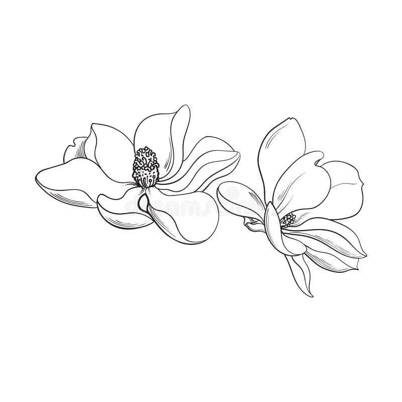 2 розовых цветка магнолии, иллюстрация вектора эскиза бесплатная иллюстрация