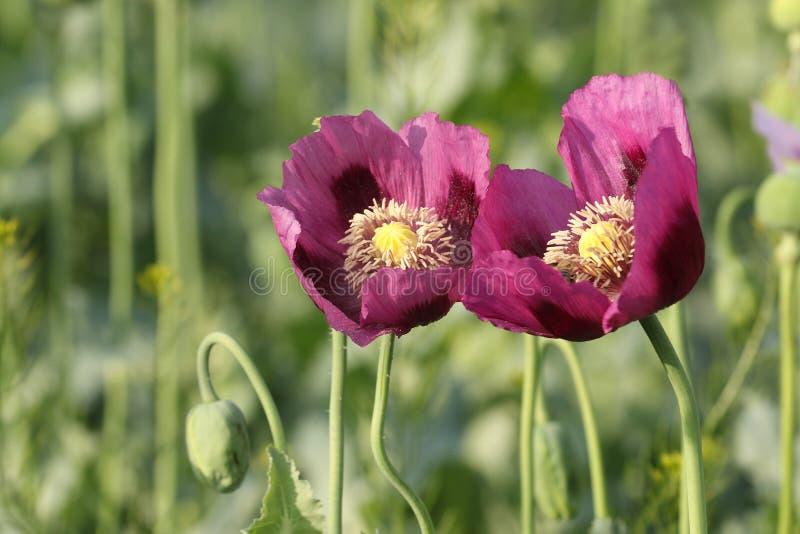 2 розовых цветка опиумного мака стоковая фотография