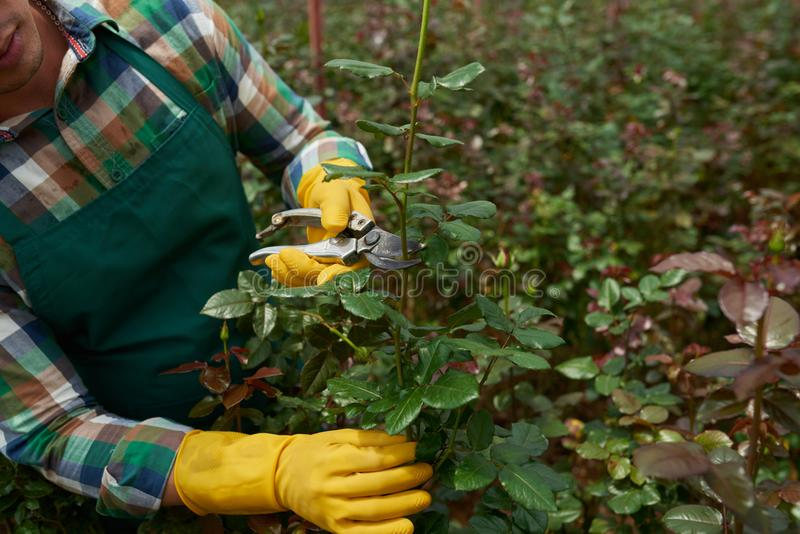 Розы вырезывания стоковая фотография