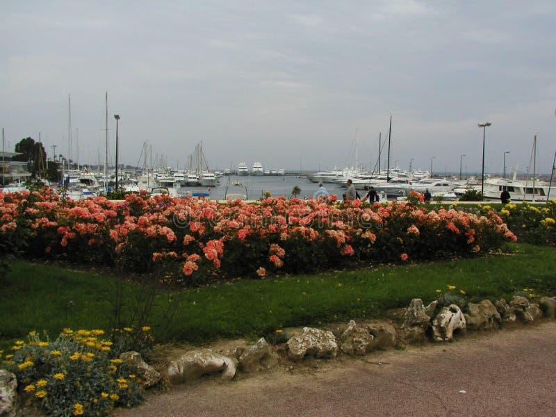 Розы в Канн стоковые фотографии rf