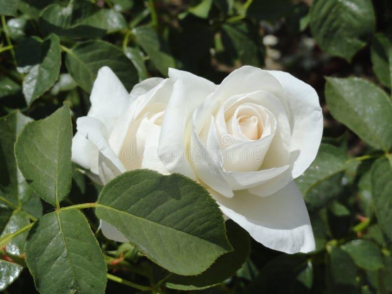 Розы в парке стоковое изображение rf