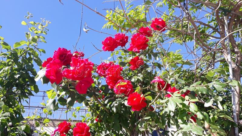 Розы в Igualada стоковое изображение