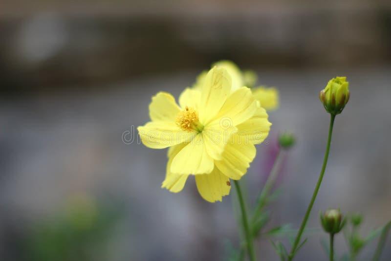 Розы зацветают стоковая фотография