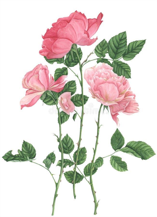 Розы, картина акварели на белой предпосылке стоковое фото
