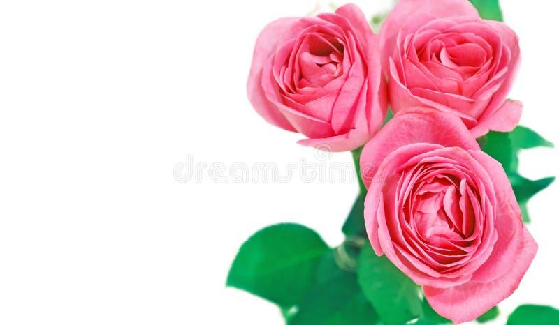 розы карточки розовые стоковые фото