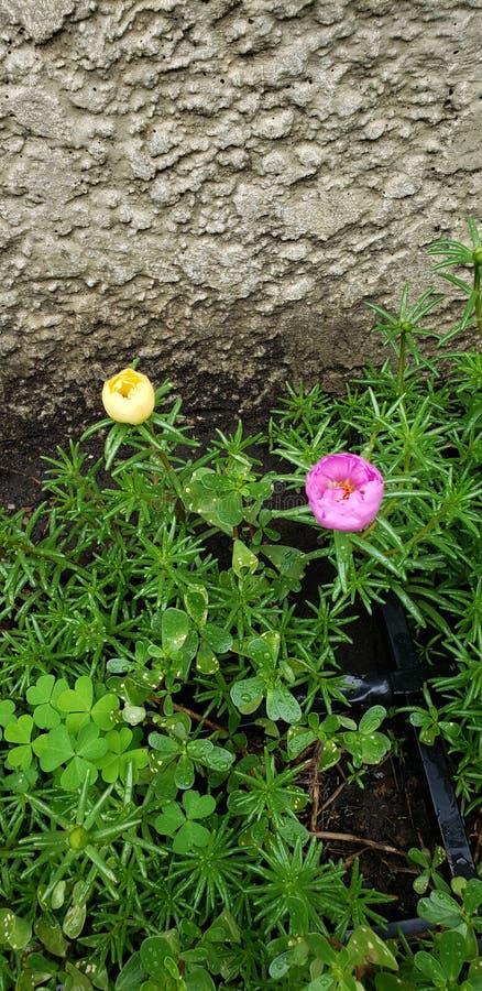 Розы мха стоковые изображения rf
