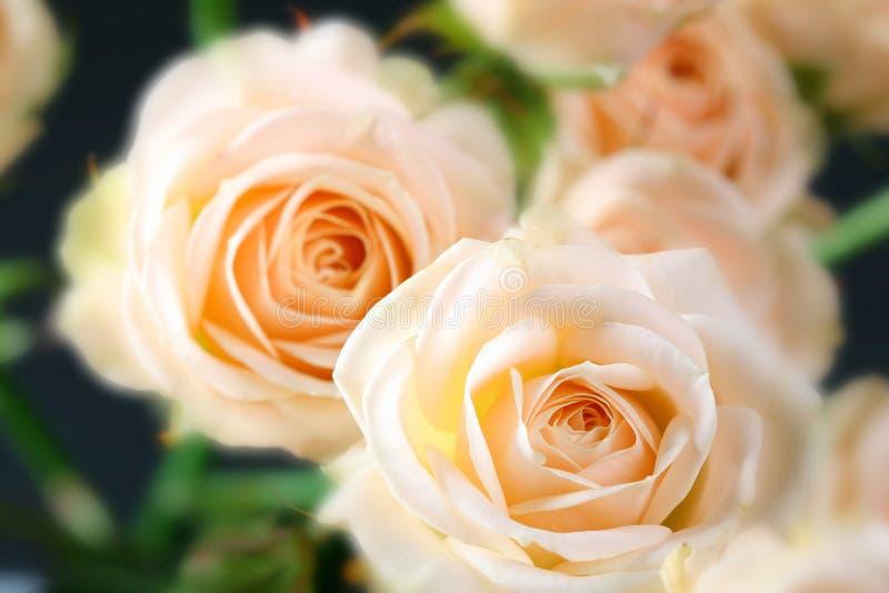 розы мягкие стоковая фотография