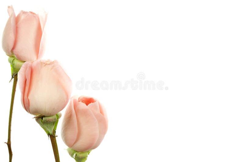 3 розы на белизне стоковое фото