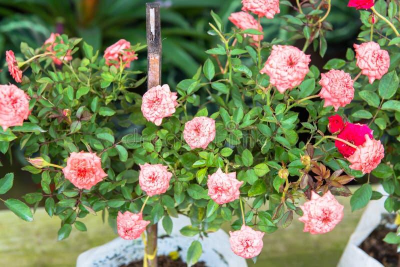 Download Розы на кусте стоковое изображение. изображение насчитывающей флора - 33726089