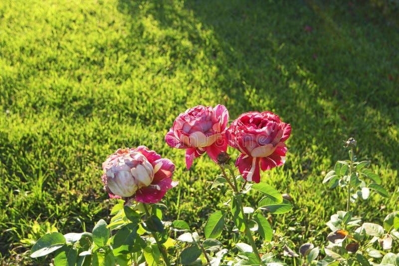 3 розы на rosebush в саде осени стоковое фото