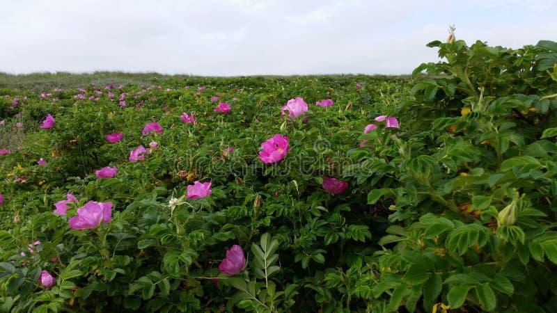 розы одичалые стоковые фотографии rf