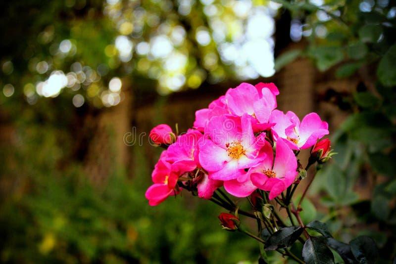 розы одичалые стоковое изображение