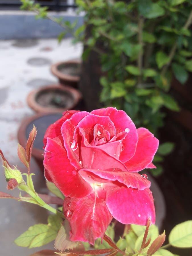Розы природы стоковое изображение rf