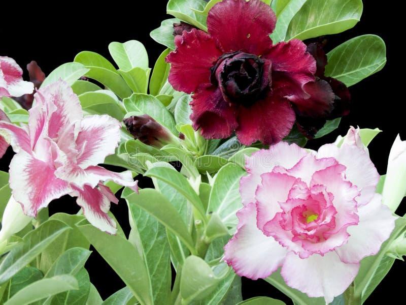 Розы пустыни стоковое изображение rf