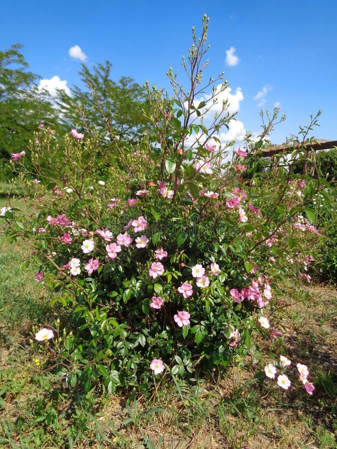 Розы сада - сад Eutopia - Arad, Румыния стоковое изображение rf