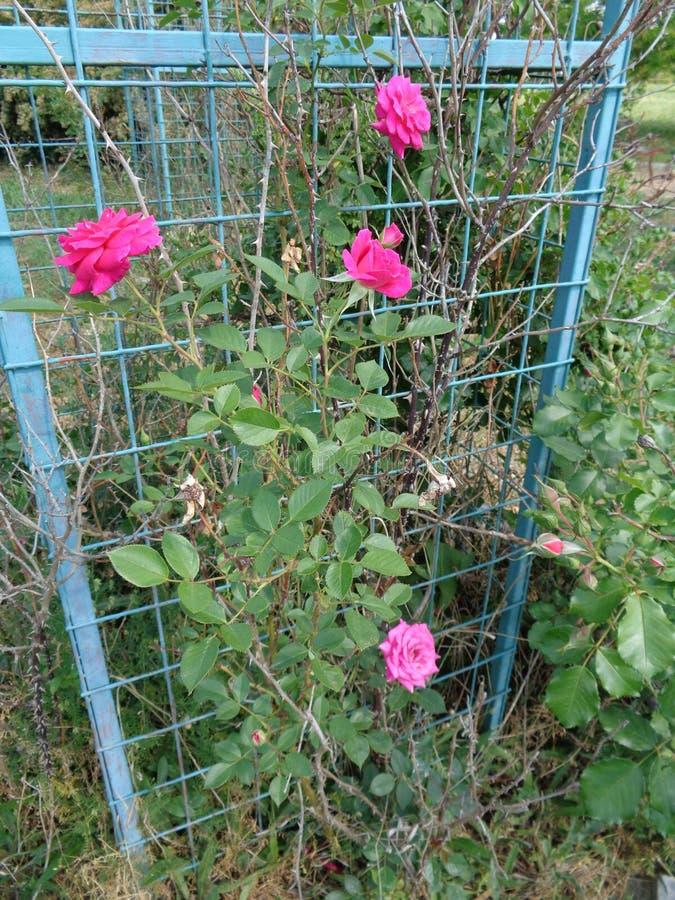 Розы сада - сад Eutopia - Arad, Румыния стоковое фото