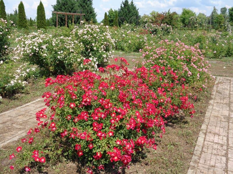 Розы сада - сад Eutopia - Arad, Румыния стоковые фотографии rf