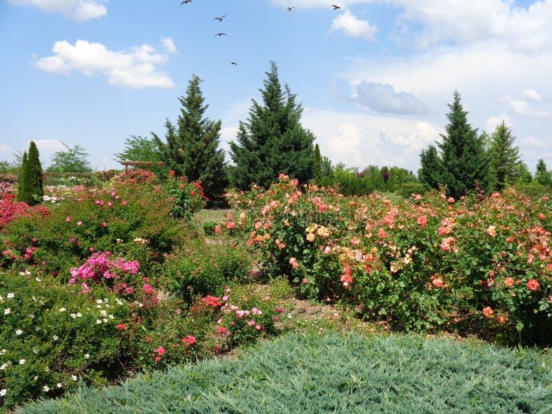 Розы сада - сад Eutopia - Arad, Румыния стоковые фото