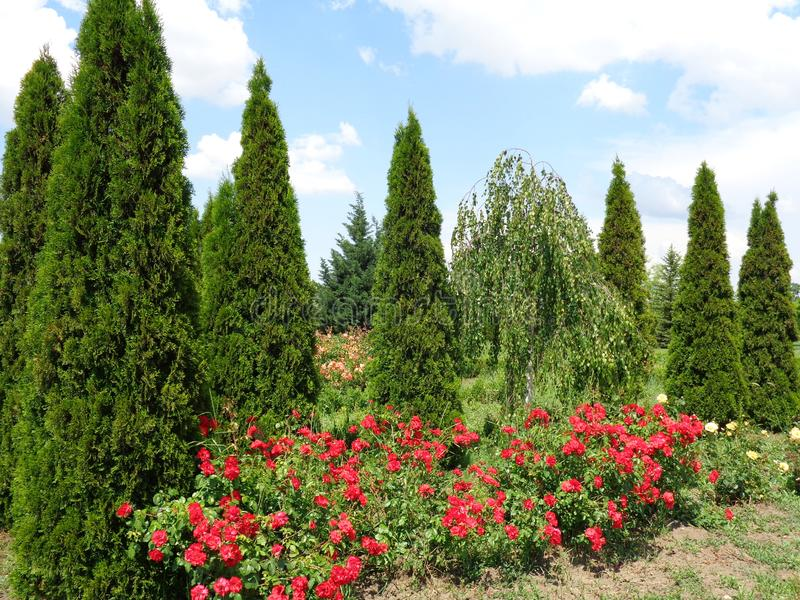 Розы сада - сад Eutopia - Arad, Румыния стоковое фото rf