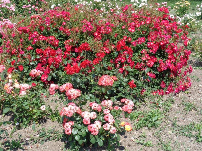 Розы сада - сад Eutopia - Arad, Румыния стоковые изображения