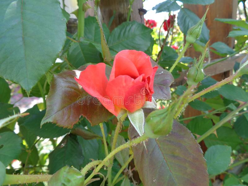 Розы сада - сад Eutopia - Arad, Румыния стоковое изображение
