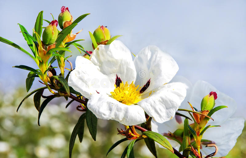 Розы утеса камеди - ladanifer Cistus стоковое изображение rf
