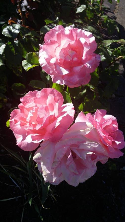 Розы школы стоковые фотографии rf