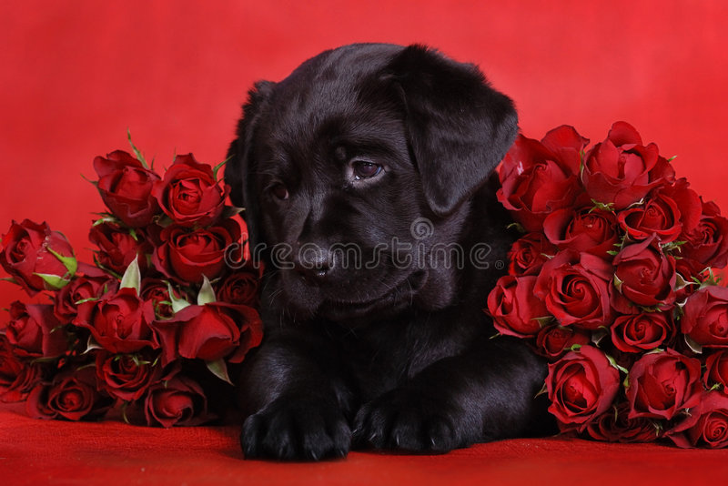 розы щенка стоковые изображения