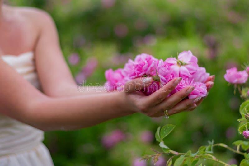 Розы для розового масла стоковое фото rf