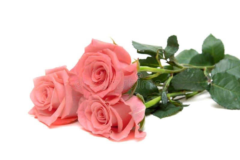 розы 3 стоковое изображение rf