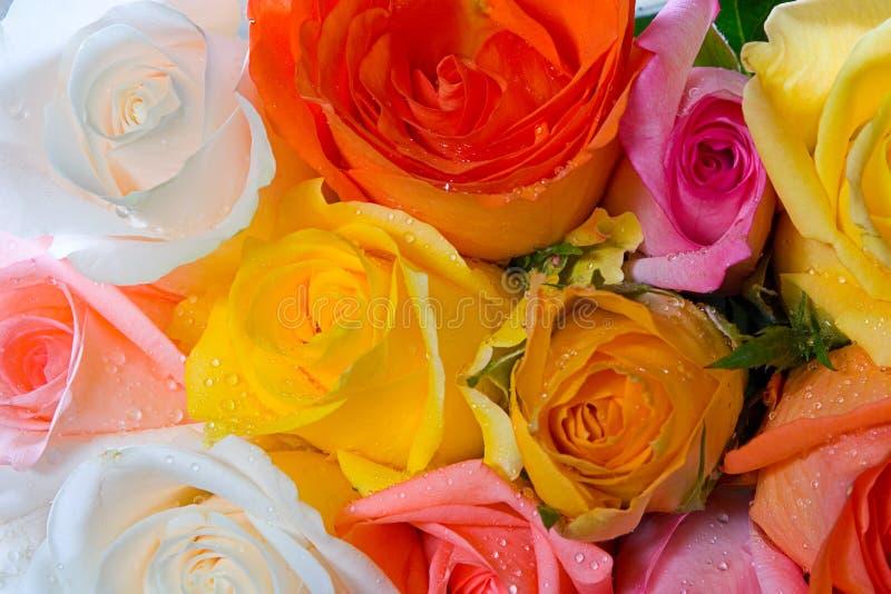 розы стоковое изображение