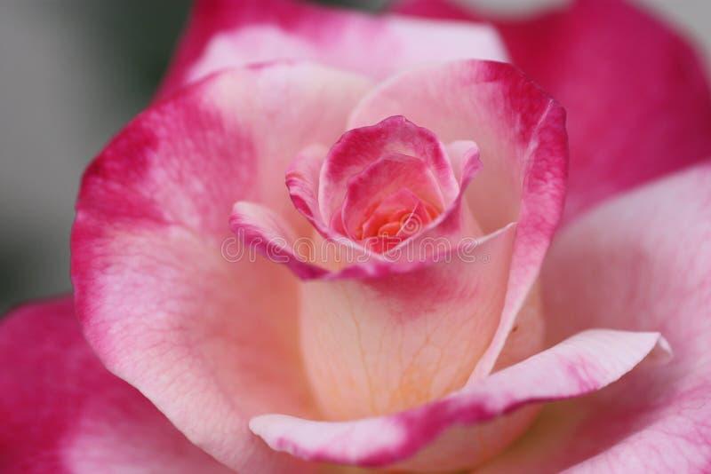 Розы Bea стоковая фотография