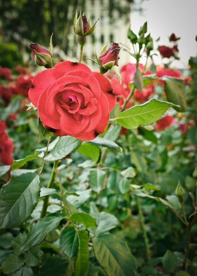 розы flowerbed стоковая фотография rf