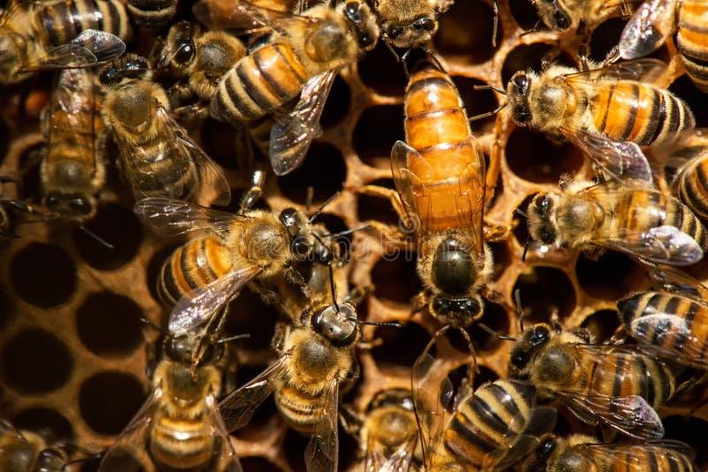 Рой королевы пчел стоковые изображения rf