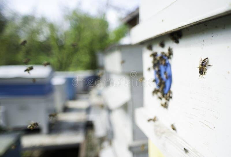 Рой пчел летает к улью стоковое изображение rf