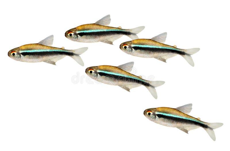 Рой черных неоновых Tetra рыб аквариума herbertaxelrodi Hyphessobrycon стоковое изображение rf