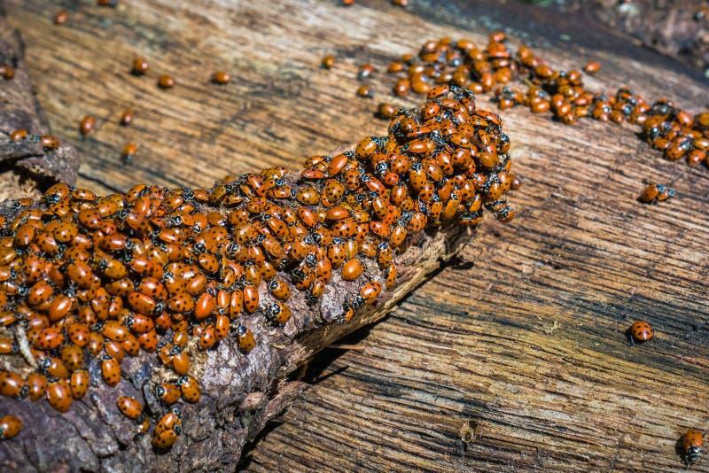 Рой ladybugs стоковая фотография rf