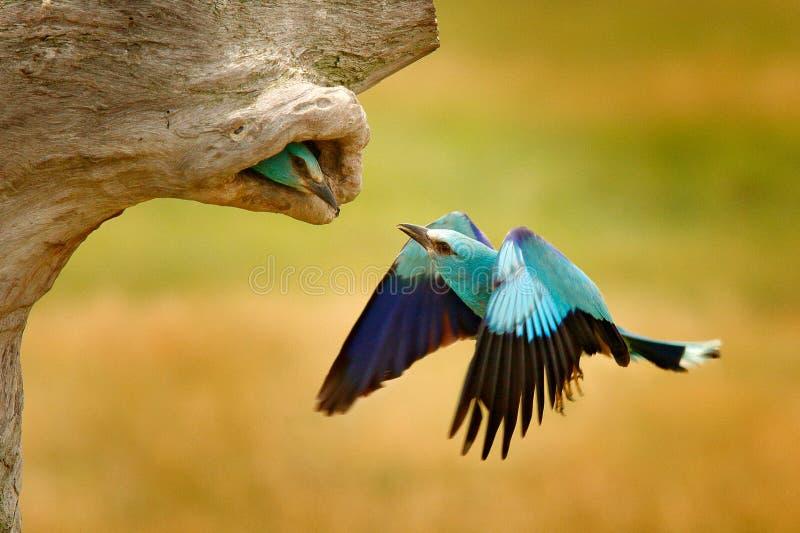 Ролик в отверстии дерева гнезда, времени гнездиться весной Birdwatching в Венгрии Славный свет цвета - голубое летание европейско стоковые изображения rf