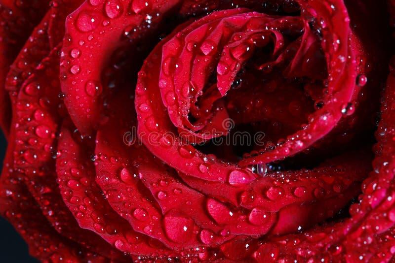 Романтичная и красивая красная роза стоковое фото