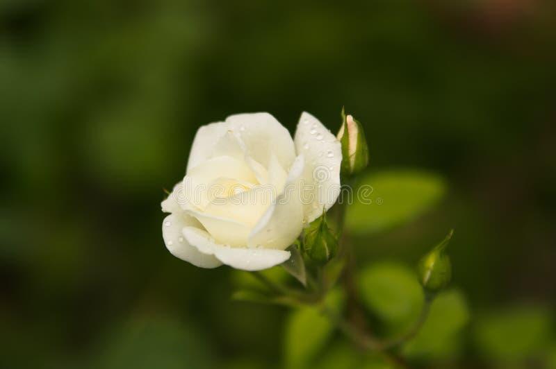 Романтичная свежая молодая белая роза предложения бутона стоковое изображение