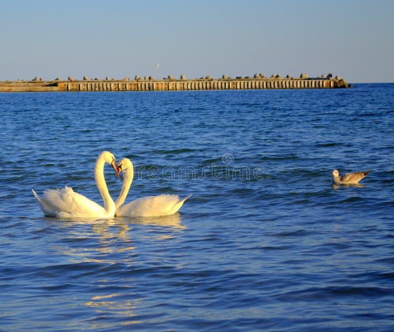 Романтичные пары лебедей в море стоковые фотографии rf