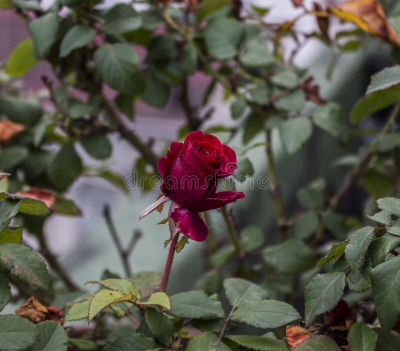 Романтичный поднял с листьями, пасмурным днем, концом вверх стоковое изображение rf