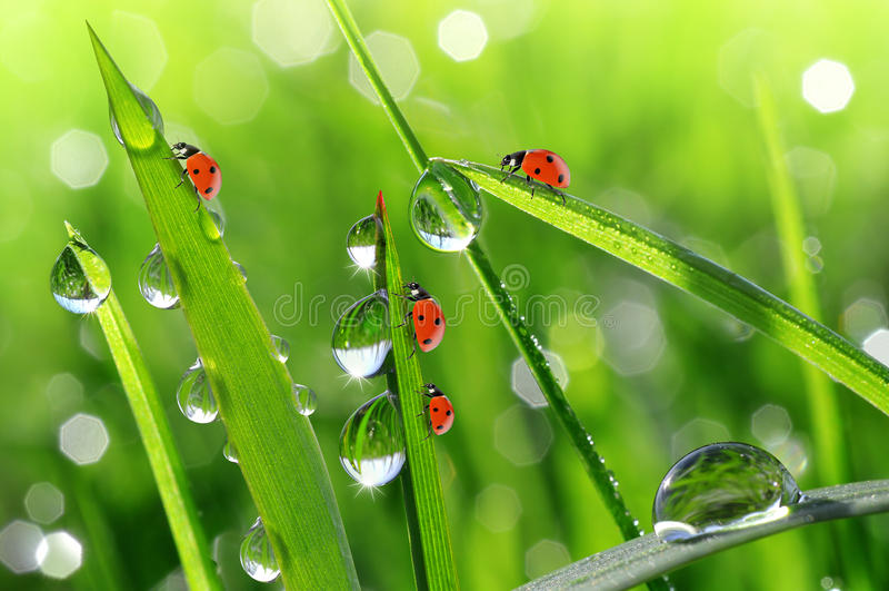 Роса и ladybirds стоковая фотография rf