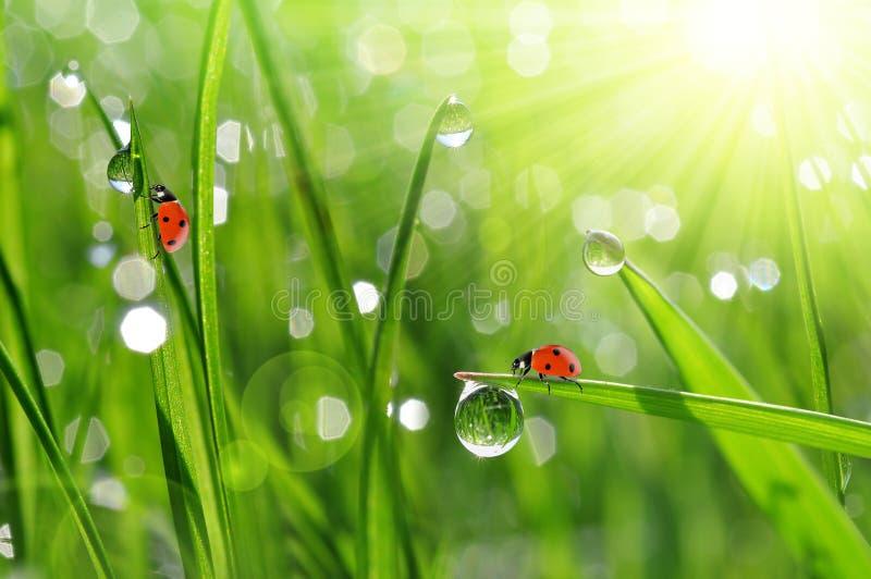 Роса и ladybirds стоковая фотография