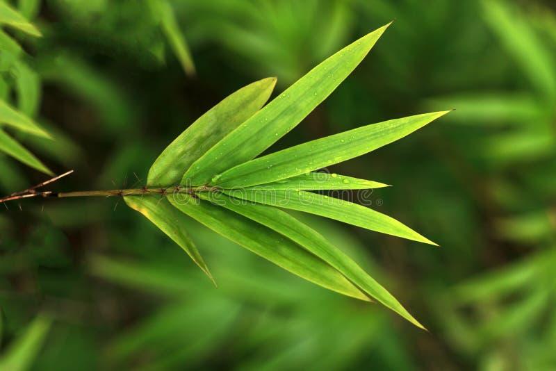 Роса на бамбуковых лист стоковое изображение
